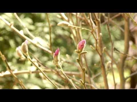 Подснежники, или Первоцветы - Садовые растения и цветы