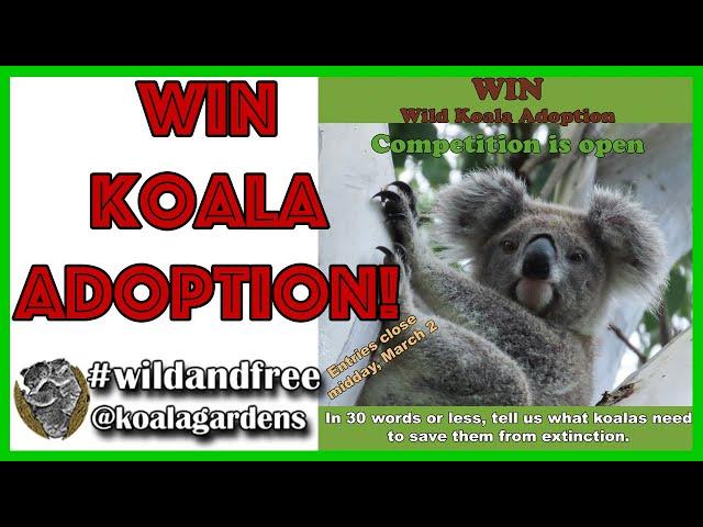 Koala competition - win a wild koala adoption and help save our beautiful koalas!