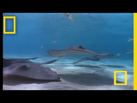Stingray | National Geographic