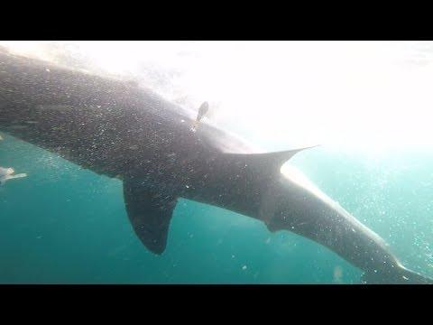 Great white sharks tagged off Nova Scotia coast