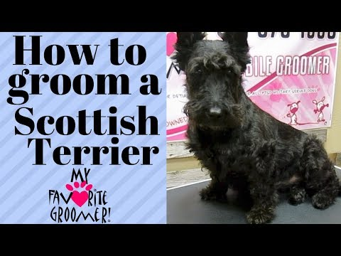 How to groom a Scottie