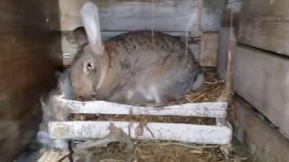 Великанша Самка №2 кормит своих крольчат малышей.