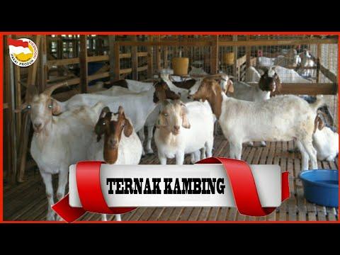 peternakan-kambing-terbesar-di-dunia
