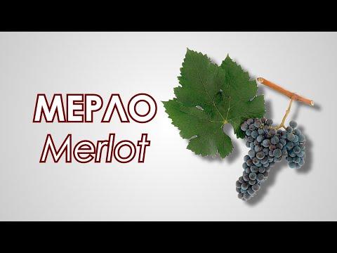 Сорт винограда Мерло | итальянское | алкогольный | виноделие | винограда | виноград | сделать | напиток | сорта | мерло | сорт