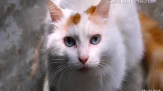 Топ -5 самых больших пород домашних кошек