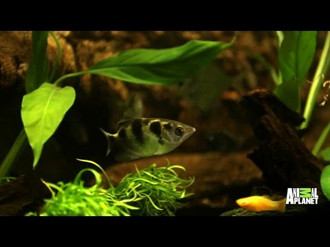 Penn Jillette's Amazing Archer Fish And Gecko Tank