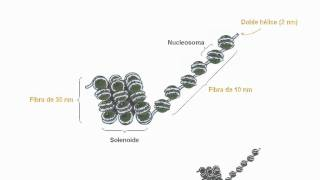 Niveles de organización de la cromatina