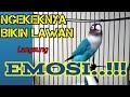 Suara Lovebird Ngekek Panjang Bikin Lovebird Fighter Anda Terpancing Emosi Nyaut Ikut Bunyi  Mp3 - Mp4 Download