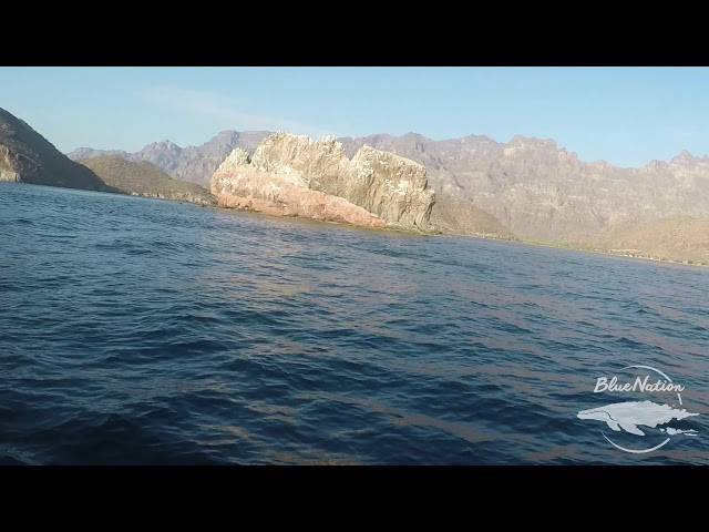 THOUSANDS of mobula rays in the Loreto Bay National Park!!