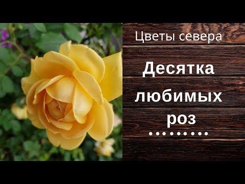 Десятка любимых роз.