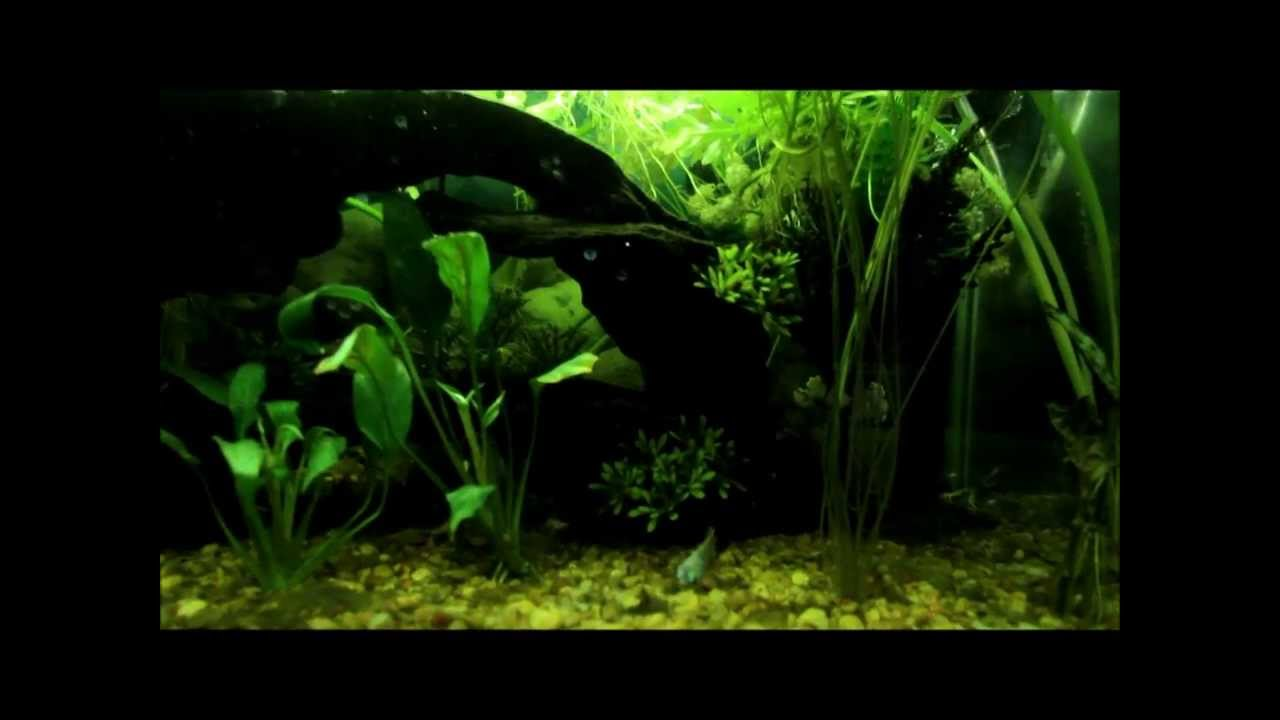 Fish for natural aquarium - Nature Inspired 20 Gallon Community Planted Aquarium Tank Exotic Fish Shrimp Live Plants Youtube
