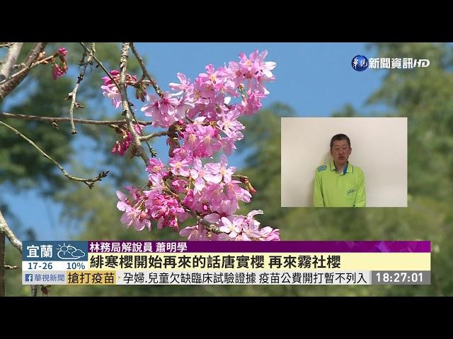 228賞櫻湧人潮 阿里山日逾4千人入園|華視新聞 20210228