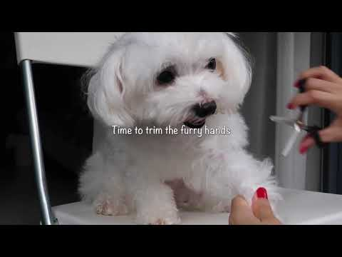 How to groom your dog at home | Maltese pet grooming