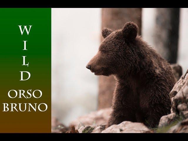 Orso Bruno, Brown bear