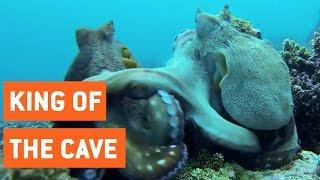 Octopus Fighting | Sneak Confronts