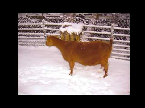Kantele improvisation - goats in the snow.