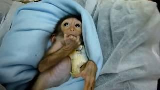 Смешные обезьяны, маленькие обезьянки, стоить посмотреть!!!