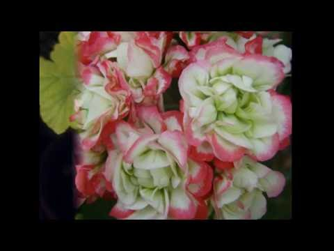 Apple Blossom Rosebud пеларгония