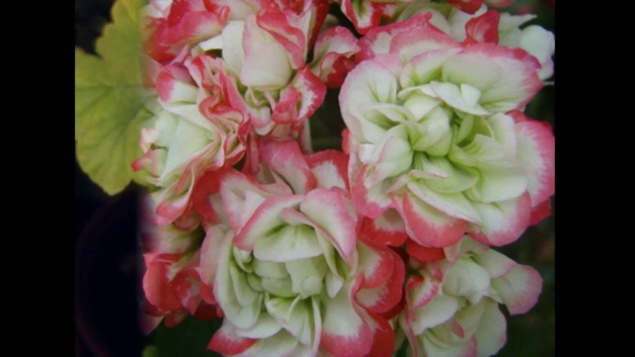 11 июл 2017. Подскажите, из-за чего цветок герани раскрывается не полностью: верхняя часть раскрыта и порой уже вянет, а нижняя. Купить товары для дома и сада. Пеларгония (герань) гибридная орбит вишня f1, 5 шт.