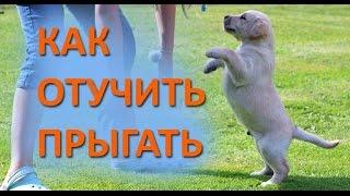 Дрессировка собак. Как отучить щенка прыгать на людей.