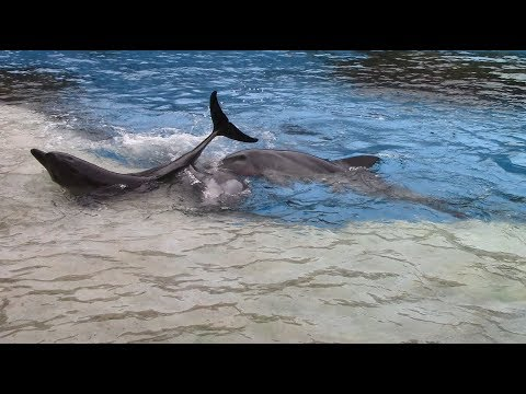 Indo-Pacific Bottlenose Dolphins Playing on the Slideout at Chimelong Ocean Kingdom (8/22/17)