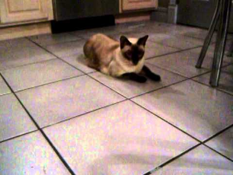 tonkinese cat playing