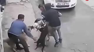 Kangala Ugraşan Pitbulun Hazin Sonu KANGAL VS PİTBULL