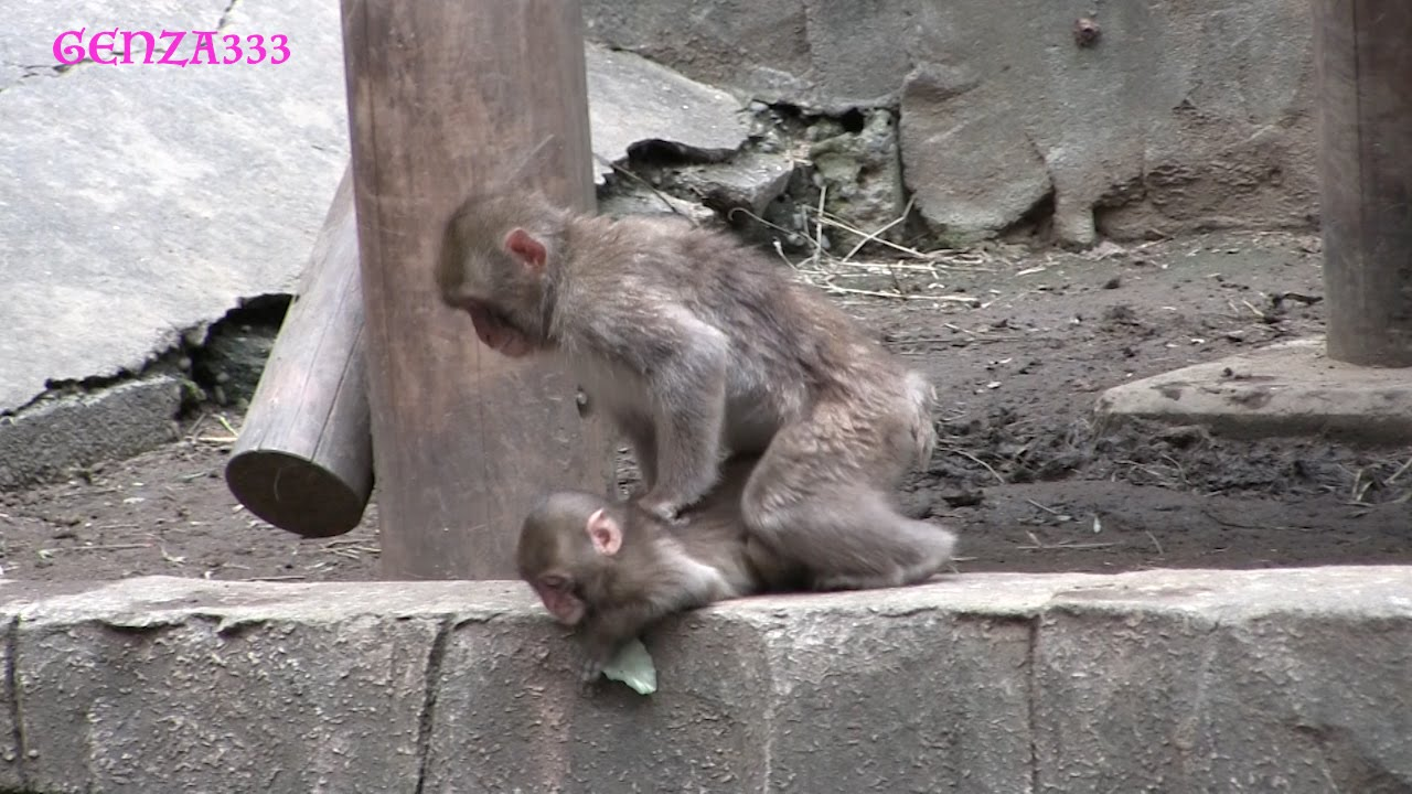 how to get a baby monkey