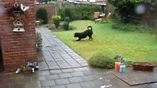 Funny Rottweiler - Buddy Having A Funny Moment In The Rain Mp3
