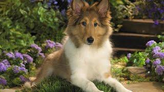 Sheltie Dog | Top 10 Shetland Sheepdog Facts