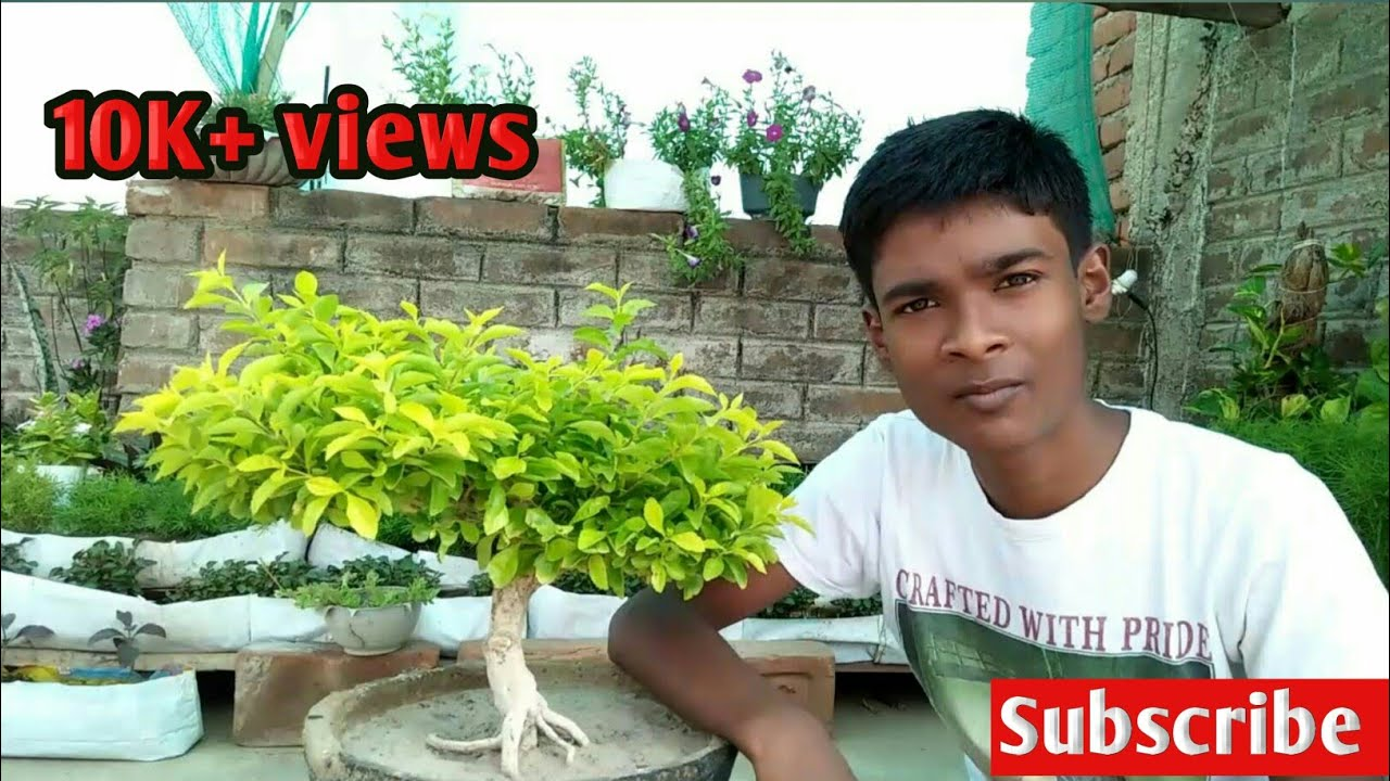How To Make Bonsai For Duranta Plant Youtube