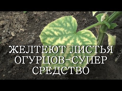Вопрос: Почему желтеют листья огурцов в открытом грунте?