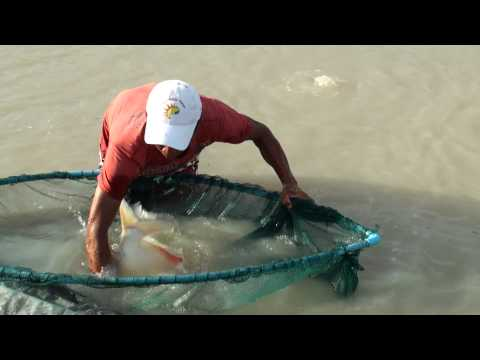 Piranha  Fish Called Pacu