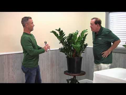 Plantz ZZ Plant
