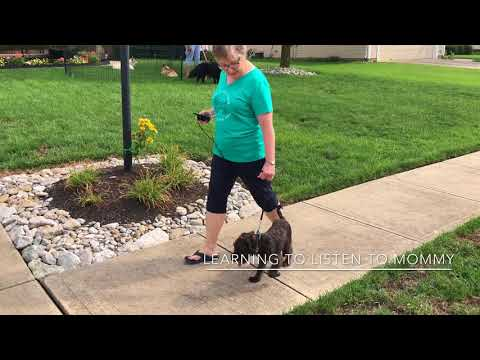 4 Month Schnoodle Leash Walking