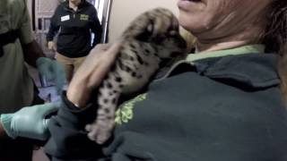 Two-week-old snow leopard baby