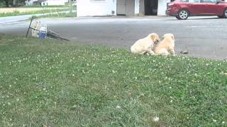 Golden Retriever Puppies For Sale In Pa.