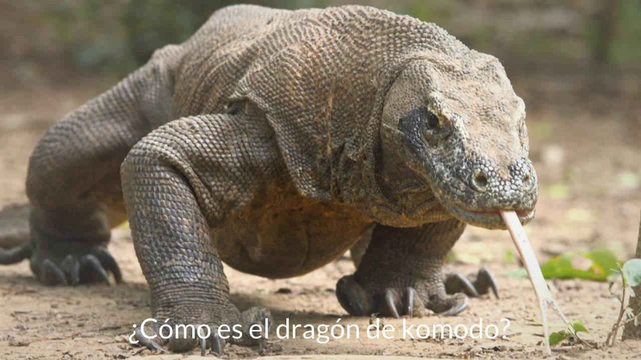 Cómo es el dragón de Komodo? - YouTube