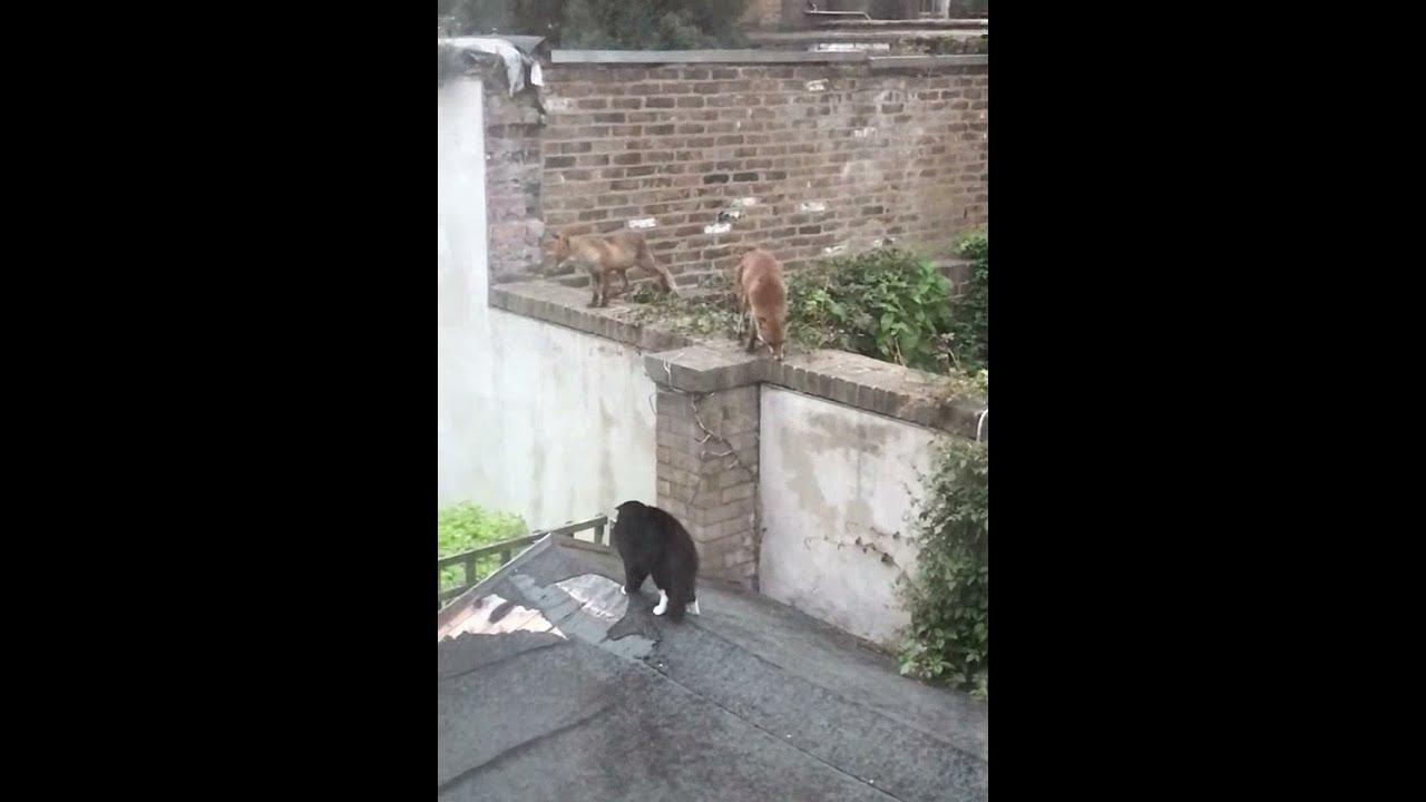 Cat VS Foxes 🙀😇