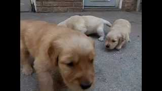 Akc Golden Retriever Puppies Sept 2015