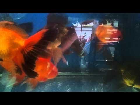 Thailand Aquarium Fish Market - 2011-10-19