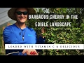 BARBADOS CHERRY: Vitamin C for the Edible Landscape