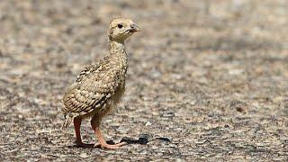 Yavru keklik sesi ( büyük yavru ) palaz keklik sesi puppy partridge sound