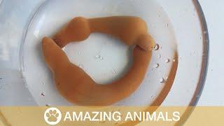 Strange Echiura Worms