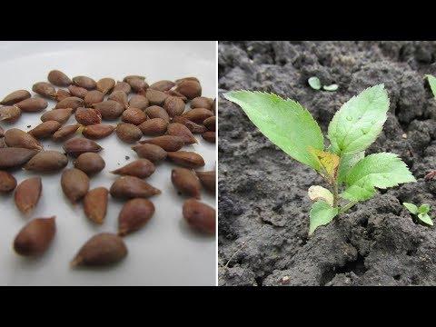 Выращивание сеянцев яблони мой опыт. Результат 2018 года