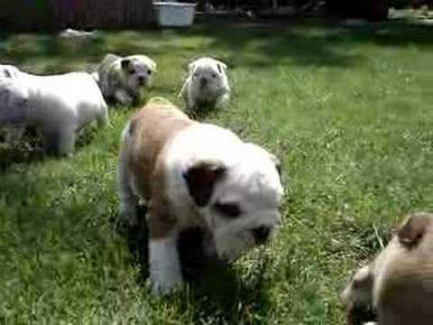 Englische Bulldogge Welpen -English BULLDOG Puppies