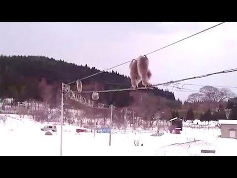 Monkeys Clamber Across Wires Between Homes