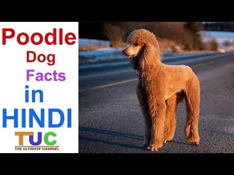 POODLE Dog  | Dog Facts | Popular Dogs | The Ultimate Channel