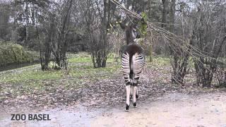 Okapi-Schutzprojekt in der Demokratischen Republik Kongo