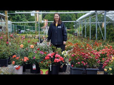 PETITTI Guide to 8 Rose Types: Qualities, Care & Varieties
